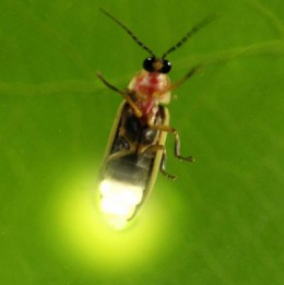 close up of lit firefly